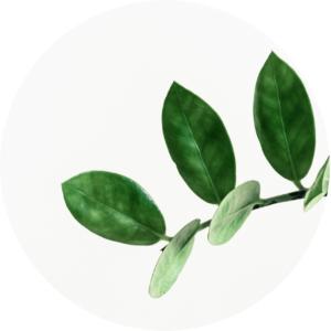 des feuilles d'une plante signifiants le yohimbine