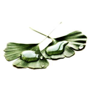 les feuilles de ginkgo representant des complements alimentaires qui peuvet substituer Jelqing