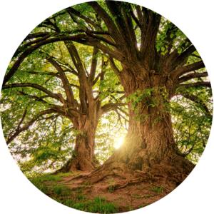 des arbres qui ont des effets des stimulants sexuels