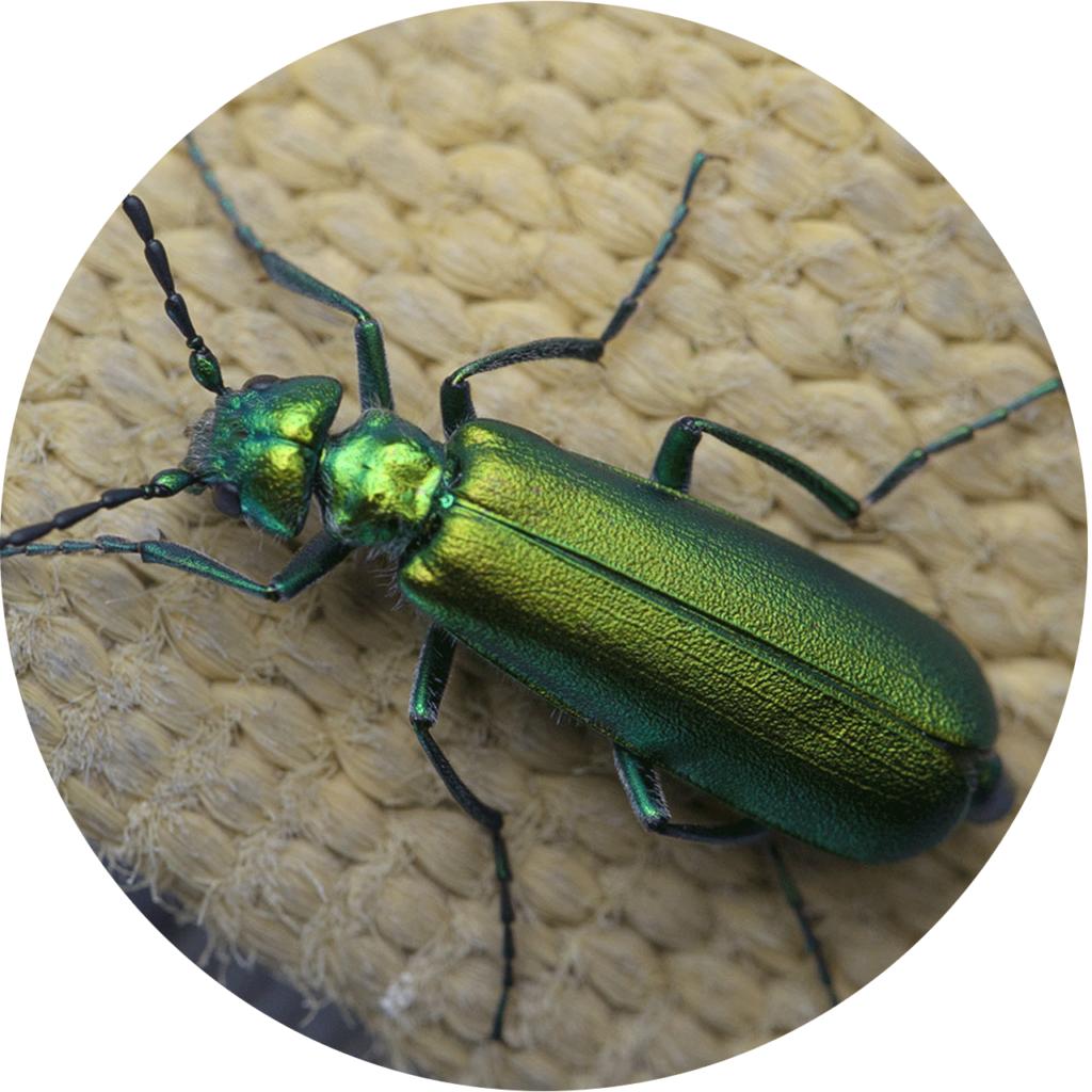 une canthaide - un coléopétre vert a des effets d'aphrodisiaques