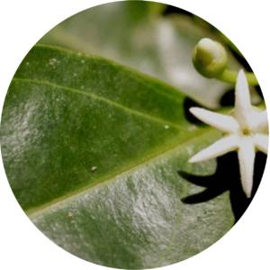 La fleur et la feuille de muira puama, un produit naturel pour bander