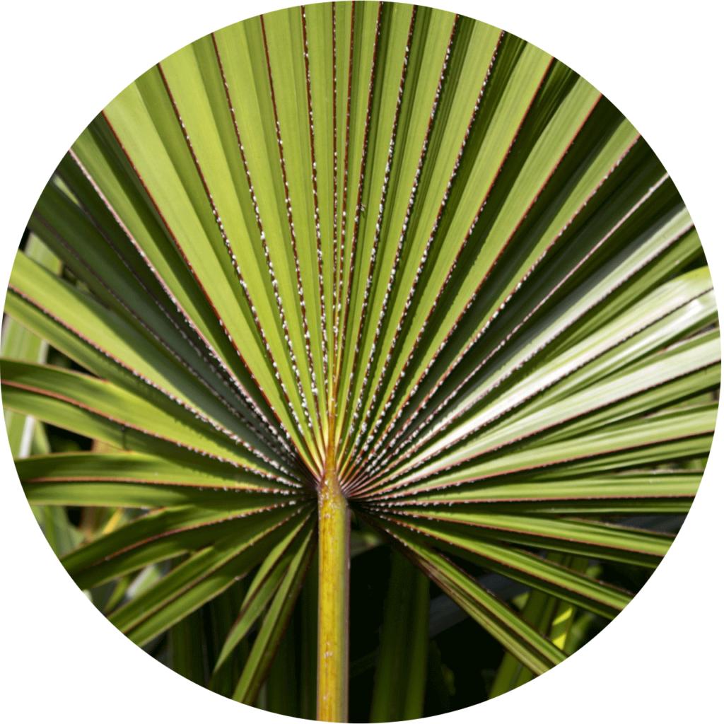 une feuille de Saw Palmetto - un palmier nain