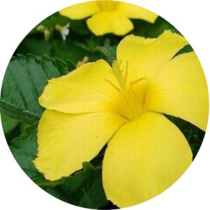 La fleur de tribulus terrestris qui est ainsi un produit naturel pour bander