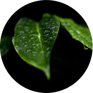 les feuilles de Tongkat Ali un produit naturel pour bander