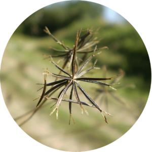 une semence de tribulus terrestris